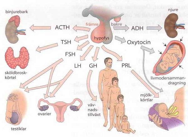 hangi hormon ne işe yarıyor