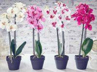 Orkide Çiçeğinin Bakım Detayları